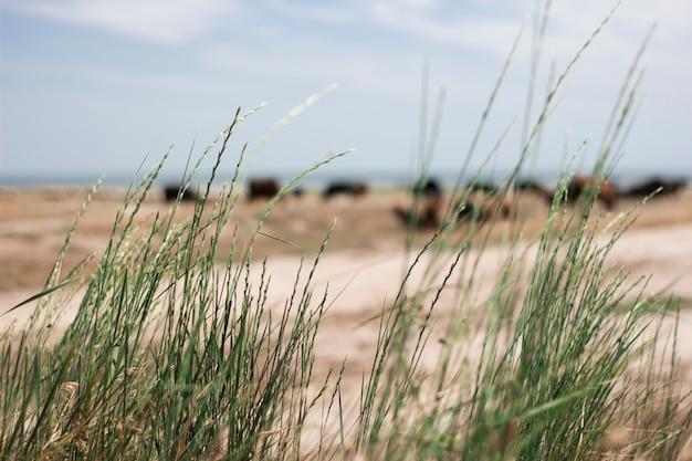 Зеленая трава против моря, на котором коровы пасутся под голубым небом. украина