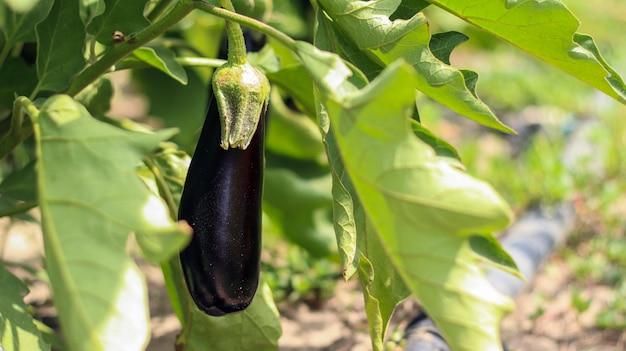 Спелый органический баклажан в саду. растет в почве. выращивание овощей под открытым небом.