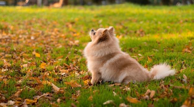 Красивый померанский шпиц сидит на зеленой траве в парке осени.