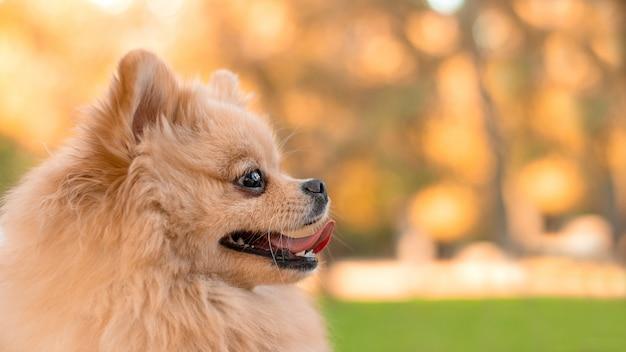 Портрет пушистого рыжего пса померанского шпица немецкой породы
