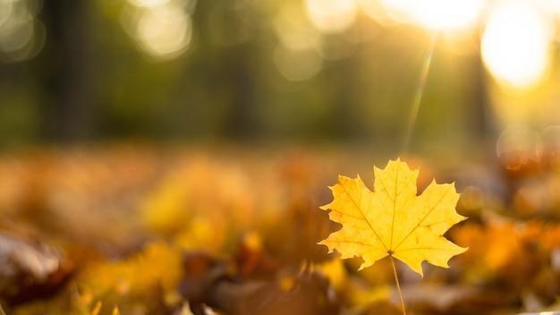 Желтый кленовый лист на фоне осенних листьев в парке с копией пространства.