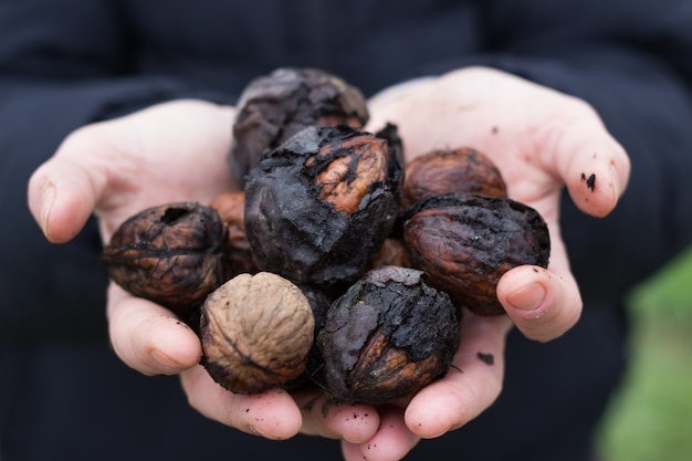 Женщина руки, держа орехи просто выбрал в поле