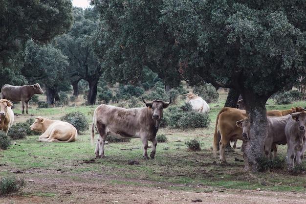 Стадо коров и телят в поле. концепция разведения сельскохозяйственных животных на свободе.