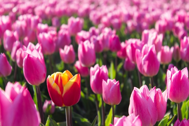 色のチューリップのグループ。日光に照らされたピンクと赤の花のチューリップ。ソフトセレクティブフォーカス、クローズアップチューリップ、調子を整える