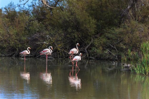 湖の水の上に腰掛けてピンクのフラミンゴの家族。