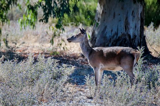 Самка оленя в национальном парке.