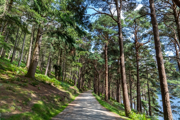 Сосновый лес на озерной дороге в верховьях озера глендалох.