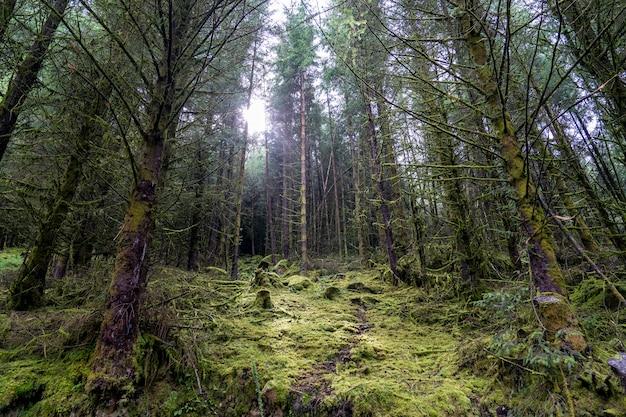 Сосновый лес в уиклоу.