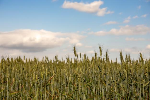 白い雲と晴れた日に緑の小麦。