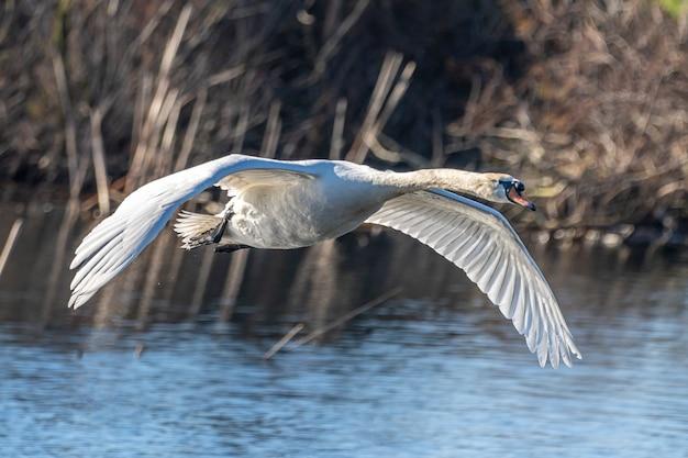 アンプルダンの沼地を飛んでいる白鳥。