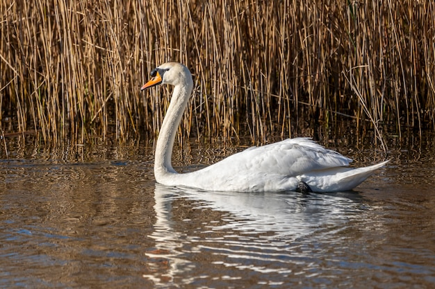 アンプルダンの沼地の白鳥。