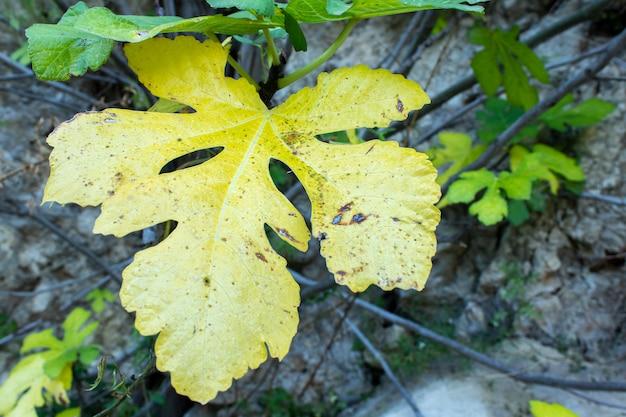 秋のイチジクの木の葉