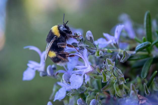 ローズマリーの花に受粉する蜂