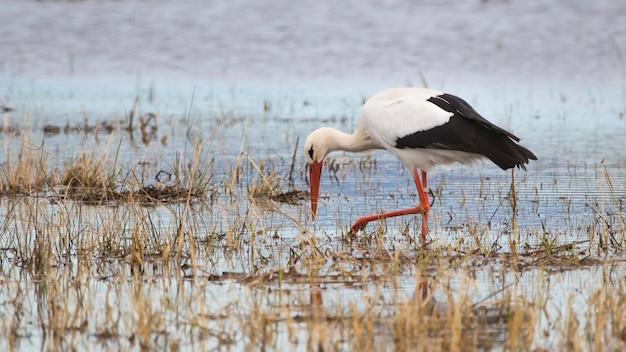コウノトリ(チコニアチコニア)の自然公園の沼地の沼地、ジローナ、カタルーニャ、スペイン