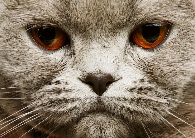 Шотландская вислоухая серая кошка