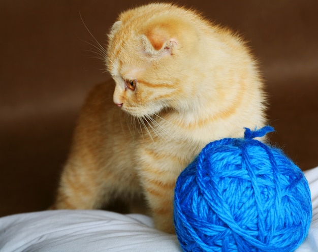 Рыжий вислоухий котенок