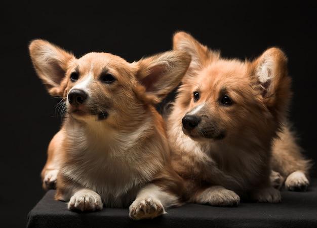 Два щенка.
