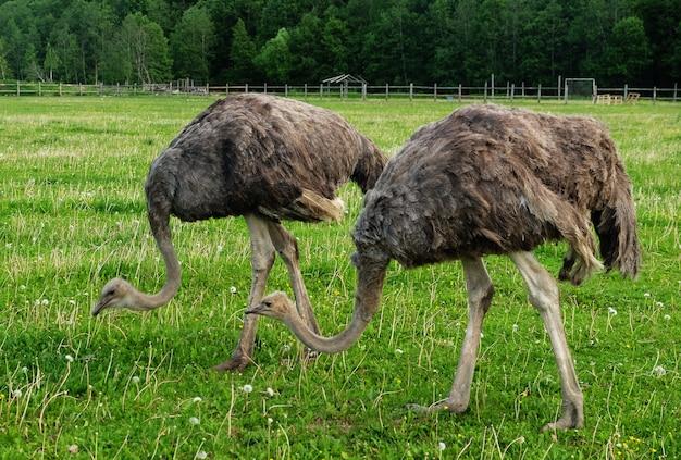 Два страусов на зеленой траве летом