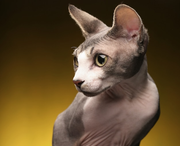 少し楽しいスフィンクス猫。