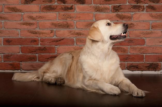 自宅で撮影した美しいゴールデンレトリーバー犬