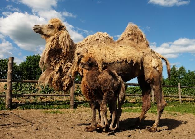 ラクダの赤ちゃんと母親のラクダ