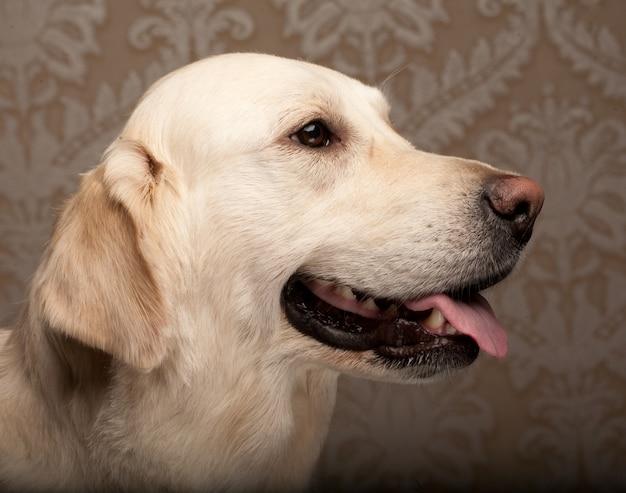 Собака золотистого ретривера сфотографированная дома