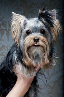 かわいいヨークシャーテリアの子犬