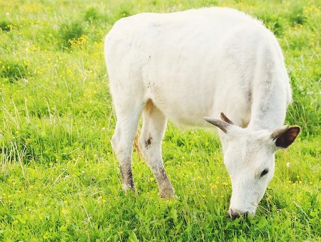 Белая корова на зеленой траве