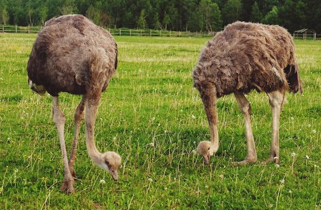 Два страусов на зеленой траве