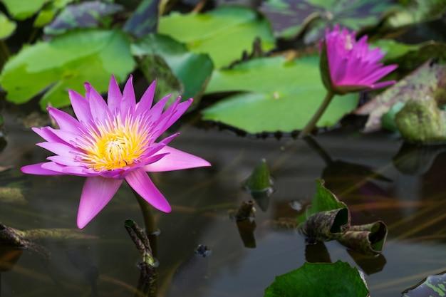 水の上にピンクの蓮