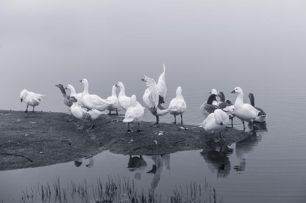 湖でアヒル