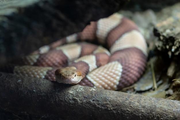 ヌビアの唾を吐くコブラ