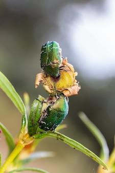 自然環境のカブトムシ