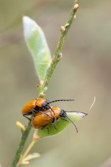 オレンジ色のカブトムシの交尾