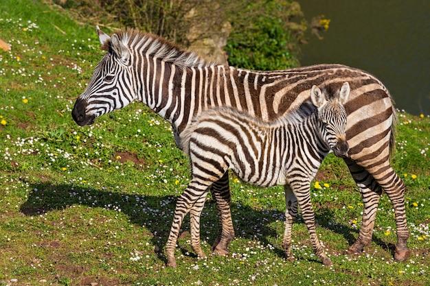 Зебра и теленок