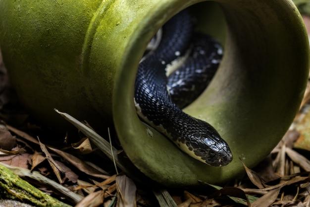 インドシナの唾吐きコブラ
