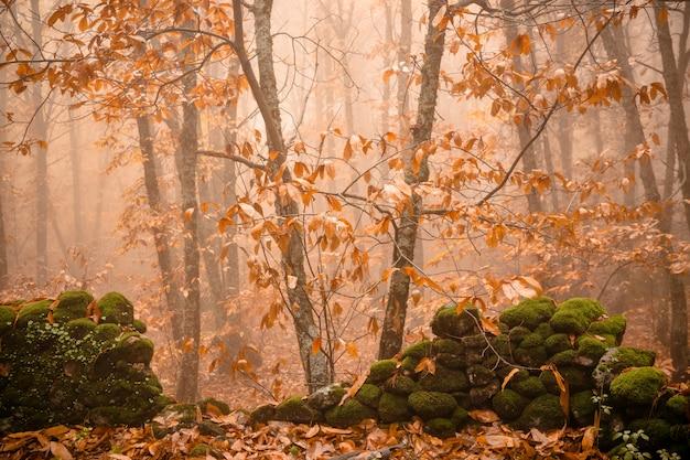 モンタンチェス近くの栗の森で霧のある風景。エストレマドゥーラ。スペイン。