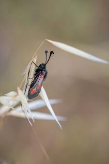 Шесть пятен горелки. вид мотылька в естественной среде.