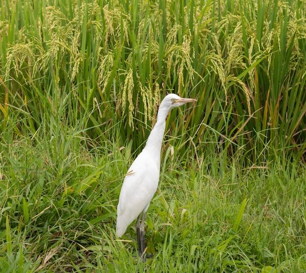 Белая цапля на рисовом поле