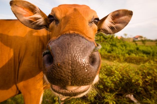 Симпатичная корова