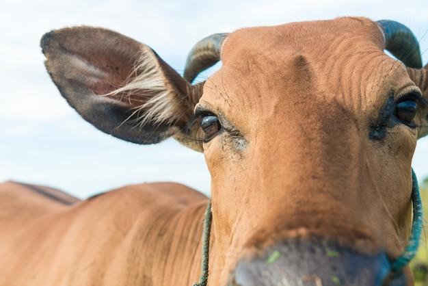 Симпатичная корова крупным планом