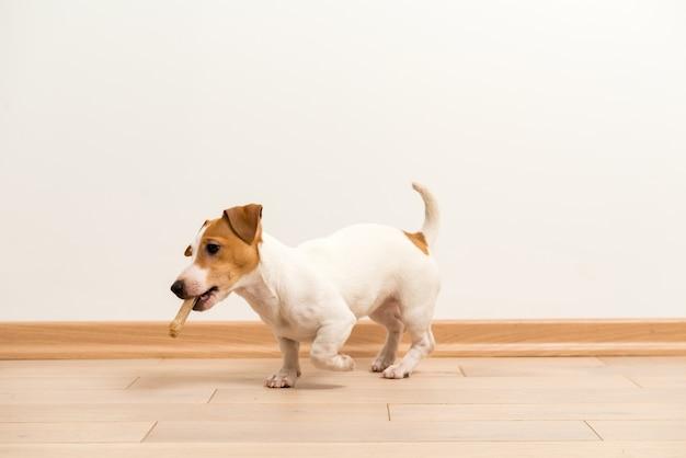 ジャックラッセルテリアの子犬