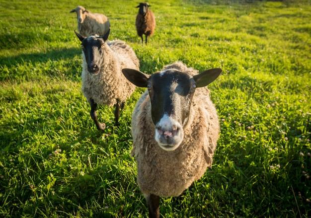 羊の緑の草の上に