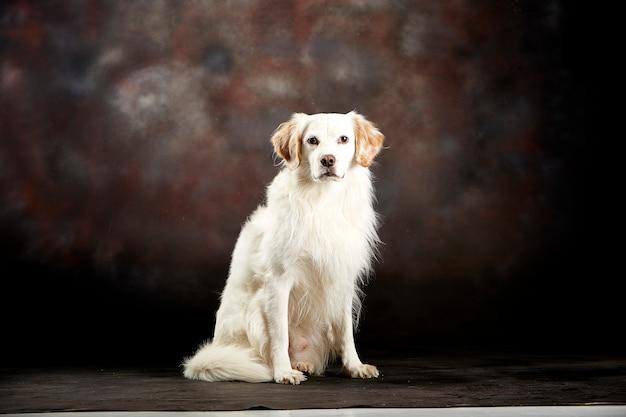 白い犬が座っています。スタジオ撮影。暗い背景