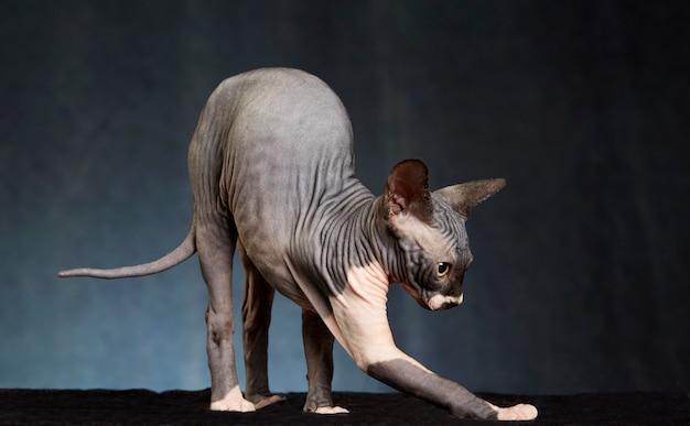 スフィンクス猫のストレッチ
