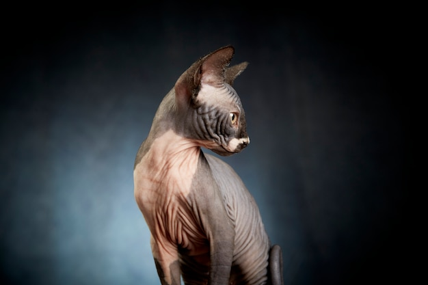 スフィンクス猫のプロフィール