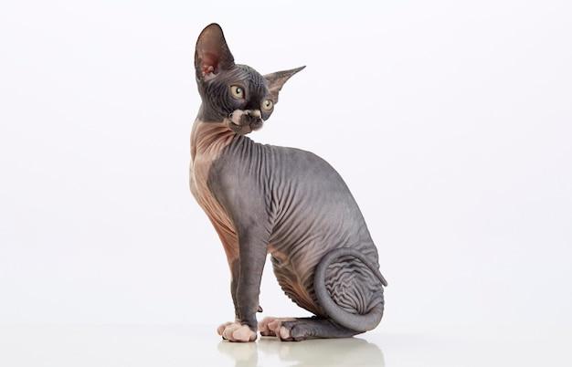 座っているスフィンクスの毛のない猫