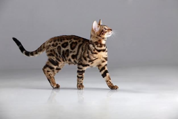 Бенгальская кошка смотрит вверх