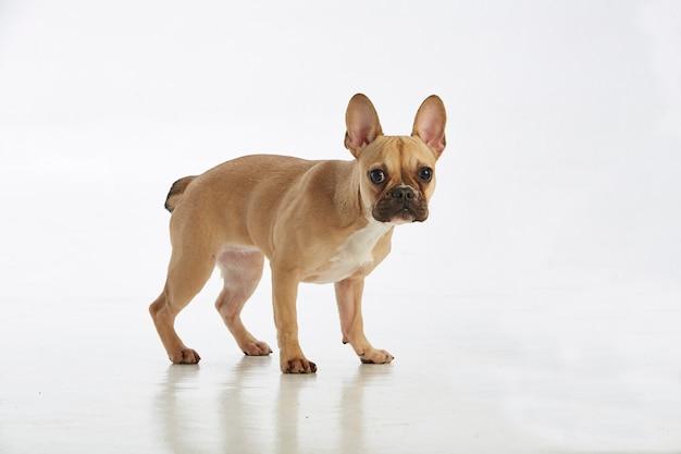 Очаровательная маленькая собачка