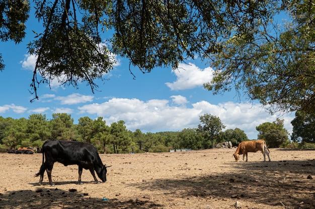 Пейзаж с двумя коровами отдыхает